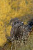 Bighorn mountain sheep ram and lamb in autumn gold Stock Photography