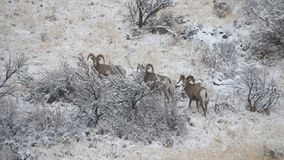 Bighorn mountain sheep in the wintry landscape of Western Montana. stock photography