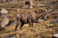 Bighorn-Mutterschaf Stockbild