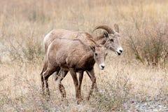 Bighorn-Mutterschaf und Lamm. Lizenzfreie Stockbilder