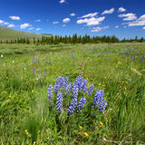 Bighorn National Forest Wildflowers Royalty Free Stock Images