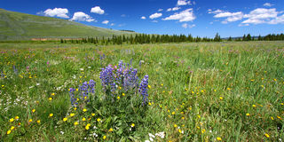 Bighorn National Forest Wildflowers Stock Photography