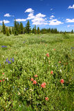 Bighorn National Forest Wildflowers Stock Image