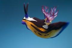 Bighorn nembrotha Royalty Free Stock Image