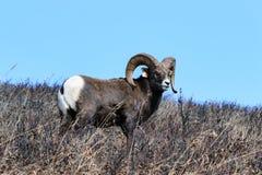 Bighorn Ram Lizenzfreie Stockfotos