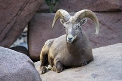 Bighorn ram. Big male rocky mountain bighorn sheep laying down on rocks royalty free stock images