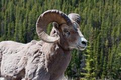 Bighorn Ram Stock Image