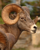 Bighorn Ram. A large Bighorn Ram with a large curl of horn Stock Image