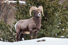 Bighorn Ram. Ram bighorn sheep in the Colorado Rocky Mountains stock images