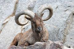 Bighorn Ram Royalty Free Stock Photos