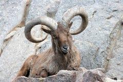 Bighorn Ram Royalty Free Stock Photos
