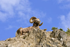 Bighorn ram above royalty free stock photography