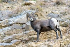 Bighorn Ram - Colorado Rocky Mountain Bighorn Sheep. Bighorn Ram - Bighorn sheep are wild animals in the Rocky Mountains of Colorado Stock Photos