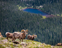 Bighorn Ram Brothers. A group of bighorn rams gathering on the top of a Colorado mountain Royalty Free Stock Photo