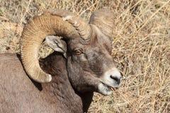 Bighorn Ram - Colorado Rocky Mountain Bighorn Sheep Stock Photo