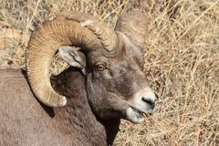 Bighorn Ram - Colorado Rocky Mountain Bighorn Sheep Stock Photo