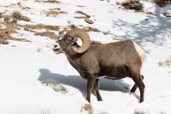 Bighorn-RAM, das Gras im Winter isst Stockfotografie