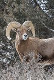 Bighorn Ram in der Furche - Colorado Rocky Mountain Bighorn Sheep Stockbilder