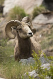 Bighorn ram on edge of mountain. Thick curled bighorn ram standing on edge of cliff in Rocky Mountains Stock Photos