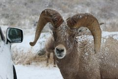 Bighorn ram in Grand Teton National Park Winter. Snow storm.  Bighorn sheep in Elk Refuge.  Jackson, WY Royalty Free Stock Images