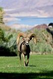 Bighorn Ram Head On del deserto Fotografie Stock