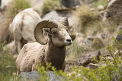 Bighorn Ram in high altitude. Bighorn Ram with heavy horn curl Stock Images