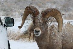 Bighorn-RAM im großartigen Nationalpark-Winter Teton Lizenzfreie Stockbilder