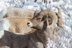 Bighorn Ram im Schnee - Colorado Rocky Mountain Bighorn Sheep Lizenzfreie Stockbilder