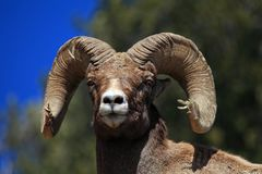 Bighorn Ram in the Lamar Valley. Photo of a Bighorn ram in the Lamar Valley of Yellowstone National Park Stock Photos