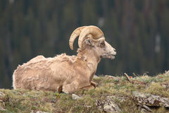 Bighorn Ram Looking Out. A Bighorn Ram resting on an alpine ridge in the Rocky Mountains of Colorado Stock Photography