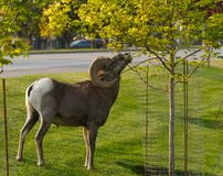 A Bighorn Ram Looking for Some City Snacking royalty free stock image