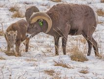 Bighorn-RAM mit Lamm Stockfotografie