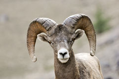 Bighorn ram portrait Royalty Free Stock Photography