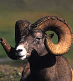 Bighorn Ram Portrait Royalty Free Stock Images