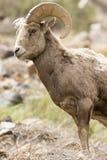 Bighorn Ram Portrait Stockbild