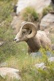 Bighorn Ram Portrait Photo stock