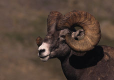 Bighorn Ram Portrait Royalty Free Stock Photos