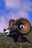 Bighorn Ram Portrait Stock Photography