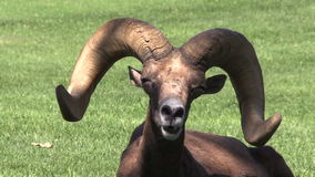 Bighorn Ram Portrait del deserto Fotografia Stock