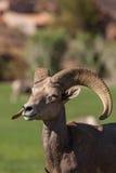 Bighorn Ram Portrait del deserto Fotografie Stock