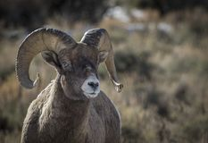 Bighorn ram portrait with sun in horns stock photo