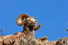 Bighorn ram at rest Stock Photos