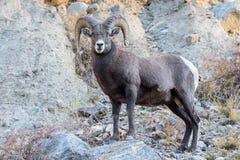Bighorn Ram On The Rocks - Colorado Rocky Mountain Bighorn Sheep Fotografia Stock