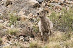 Bighorn Ram in Rut Stock Photos