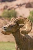 Bighorn Ram Rutting del desierto imagen de archivo