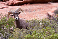 Bighorn-RAM-Schafe Stockfoto