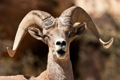 Bighorn-RAM-Schafe Stockfotografie