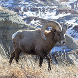 Bighorn Ram. Bighorn Sheep in the Badlands Royalty Free Stock Image
