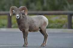 Bighorn Ram (Sheep) stands in parking lot Royalty Free Stock Photography