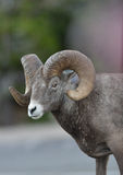 Bighorn Ram (Sheep) stands in parking lot Royalty Free Stock Images